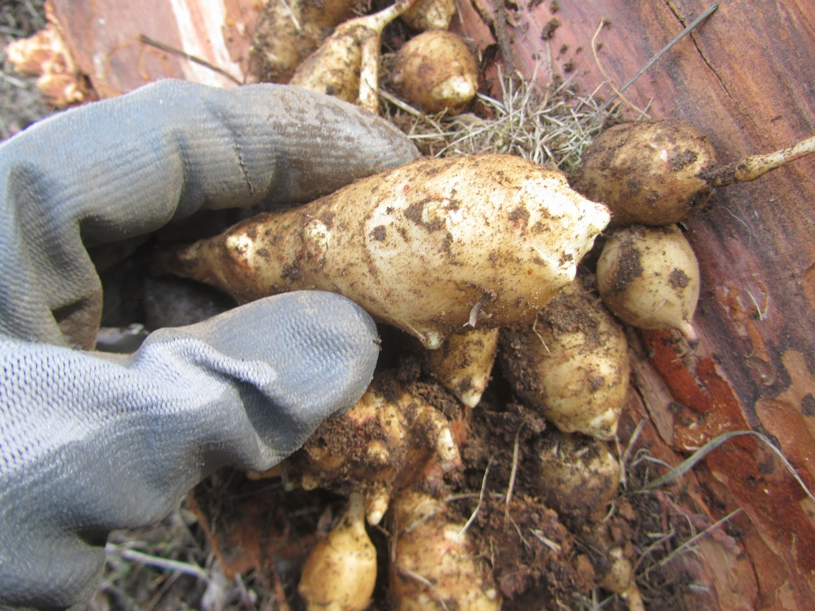 Harvesting Jerusalem Artichokes in North Idaho