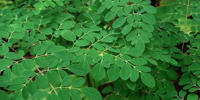 Khasiat kandungan daun Kelor dan manfaatnya