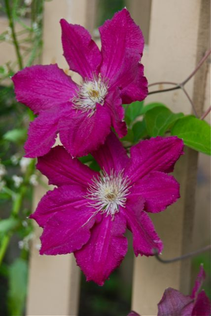 Clematis 'Earnest Markham' is a pink-red shade which happily combines with many other perennials.