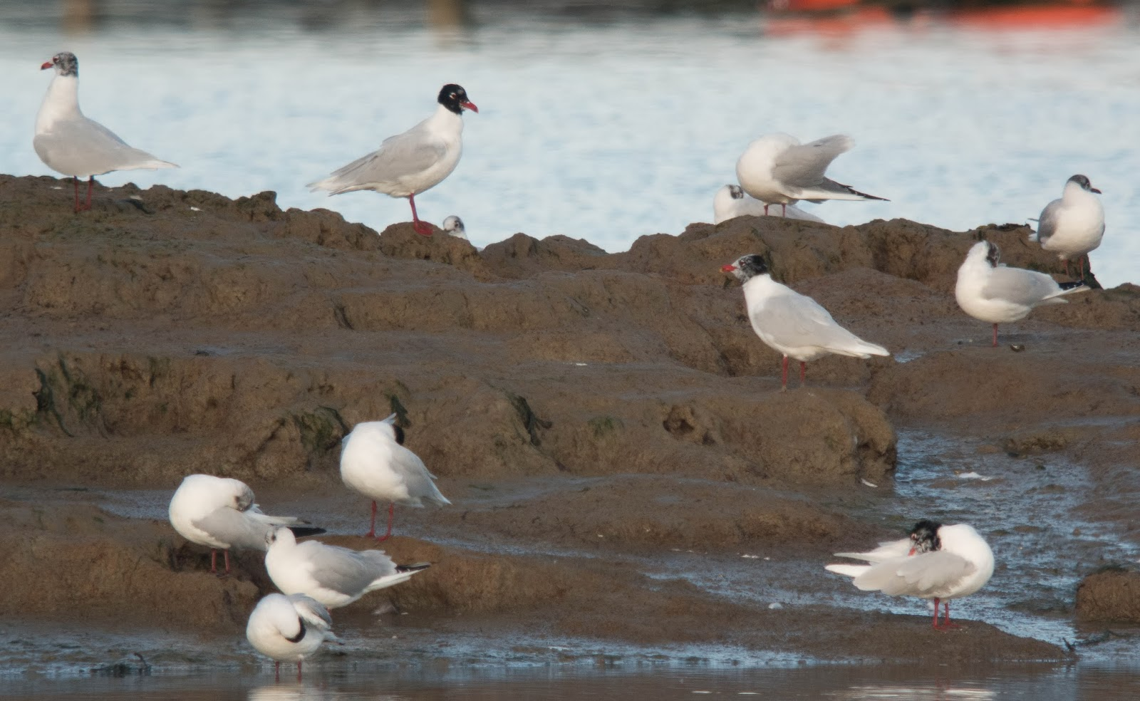 Mediterranean Gulls - Simon Colenutt
