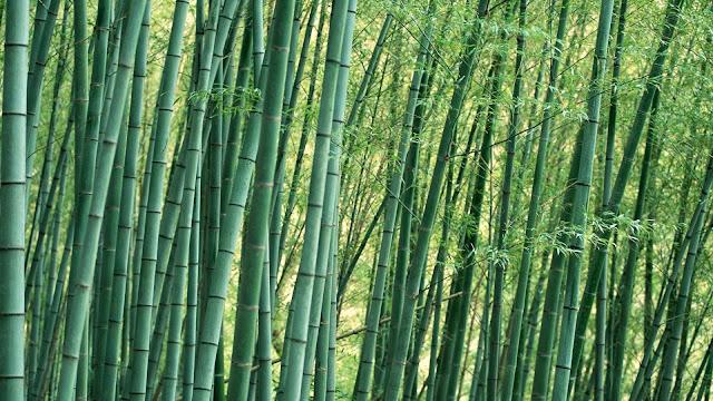 Bamboo Nature4