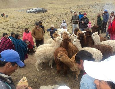 Instituciones impulsan cría de alpacas en la zona alta de Tarija