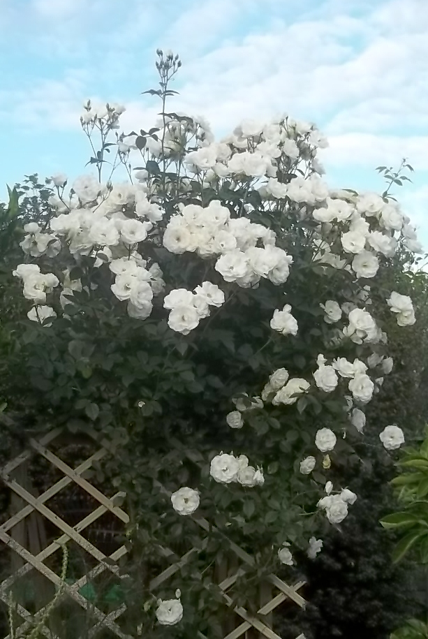 my cooking and my garden iceberg roses. Black Bedroom Furniture Sets. Home Design Ideas