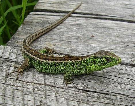 Unique lizards