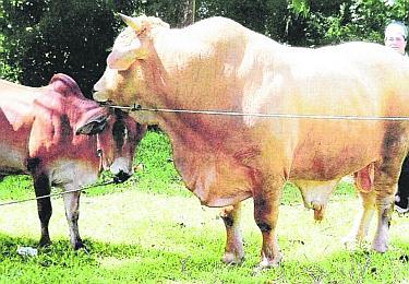 Hari Ni Beruk Pergi Kejar Lembu Korban