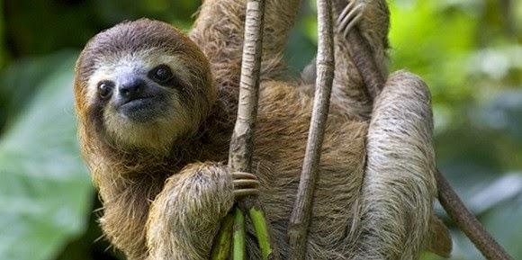 Los perezosos, habiles trepadores en la selva