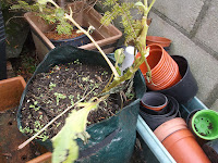 Allotment Growing - Potatoes In Bags