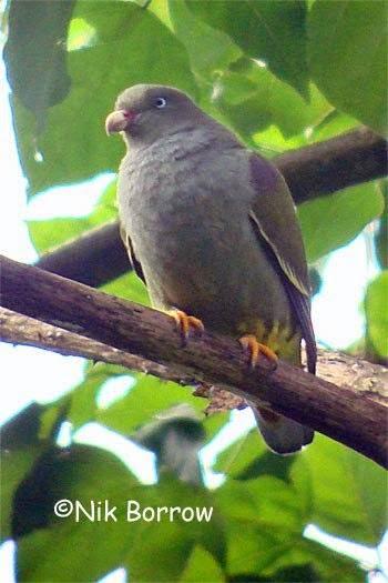 Sao Tome green pigeon