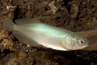 jenis ikan african arwana