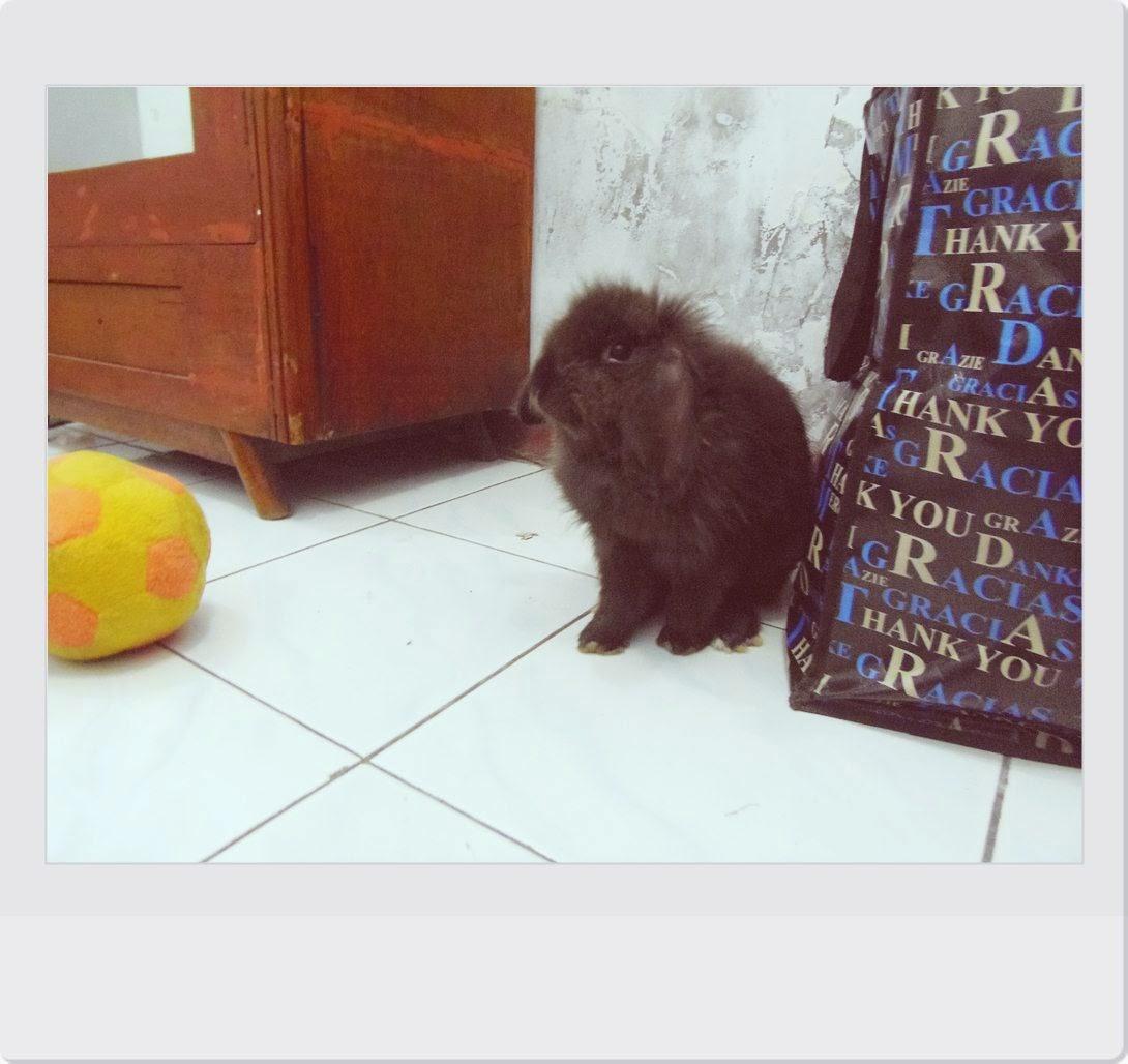Jenis Kelinci Fuzzy Lop Serta Perawatan Dan Harga