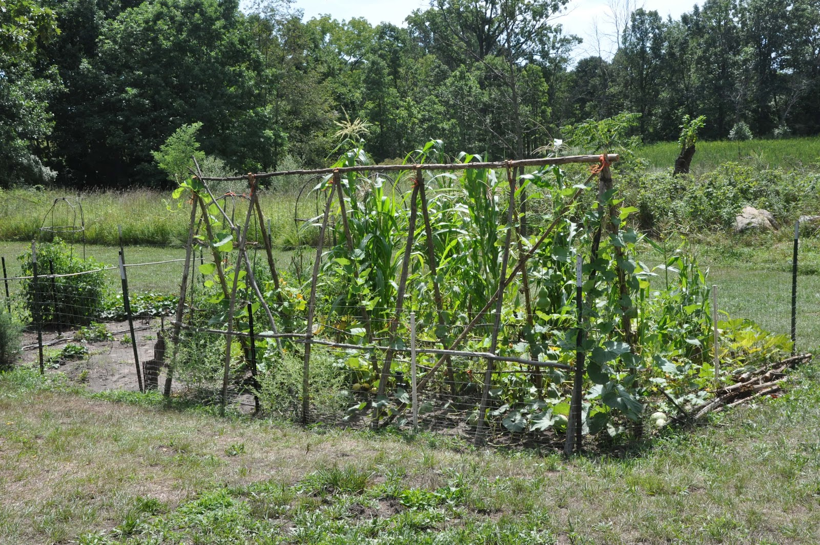 In This Case Much Of The Squash Was Actually Gourds. I May Give Gourds A  Try Next Year   They Seem Like Fun Things To Grow.