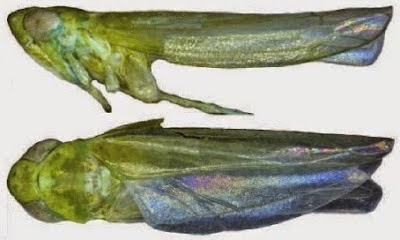http://sciencythoughts.blogspot.co.uk/2014/11/two-new-species-of-leafhoppers-from.html