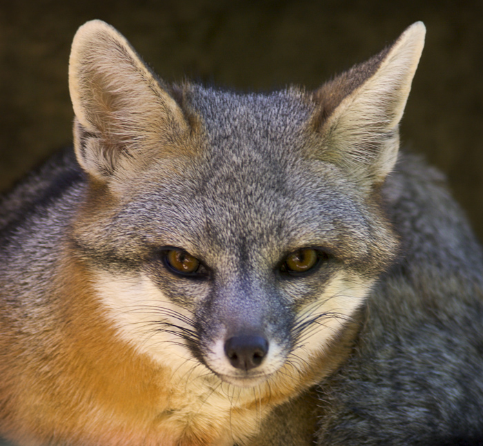 Animals of the world: Gray Fox
