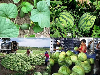 Watermelon Farming Business