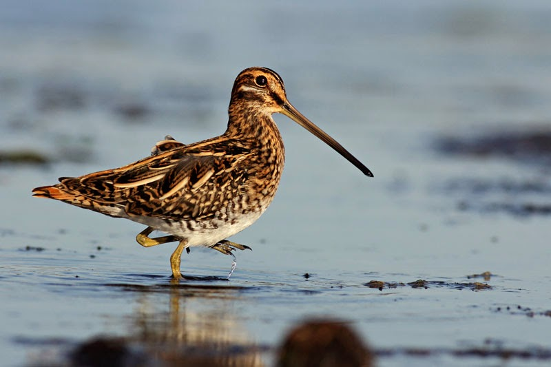 Common Snipe photography