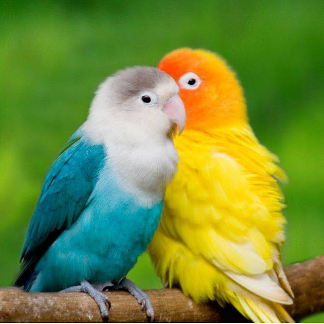 Love Birds Singing