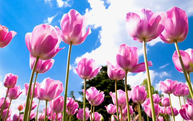 Tulipanes Rosados - Imágenes de Flores en HD