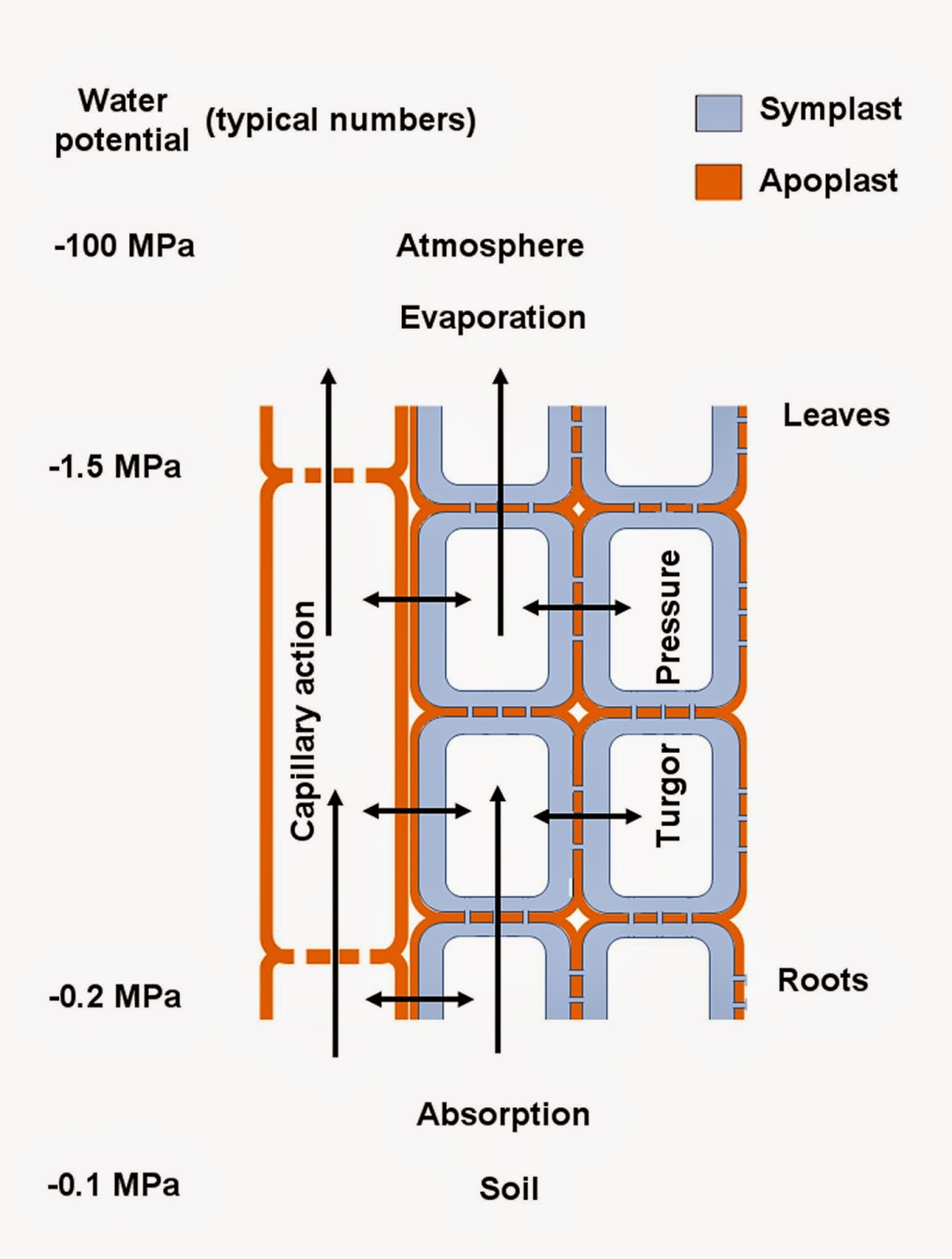 Botany Professor Water Potential Explained Simple Plant Cells Diagram Cell Easy And Is Drawn Upward By Evaporation In The Leaves Especially Xylem Left Side Of This Transpiration Absorbed Into
