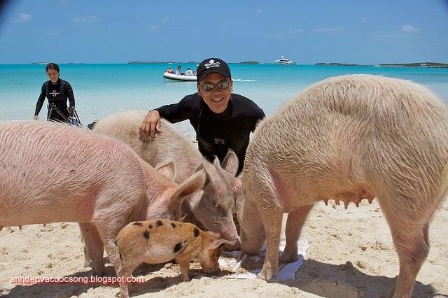 Đảo heo Big Major Spot – Bahamas 12