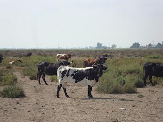 Bulls in the field - Spain