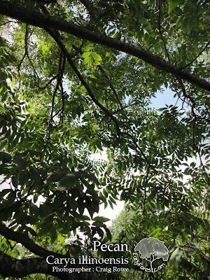 Pecan Leaves