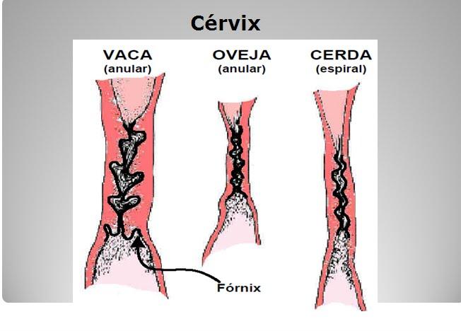 Anatomia del Aparato Reproductor Femenino: 2011