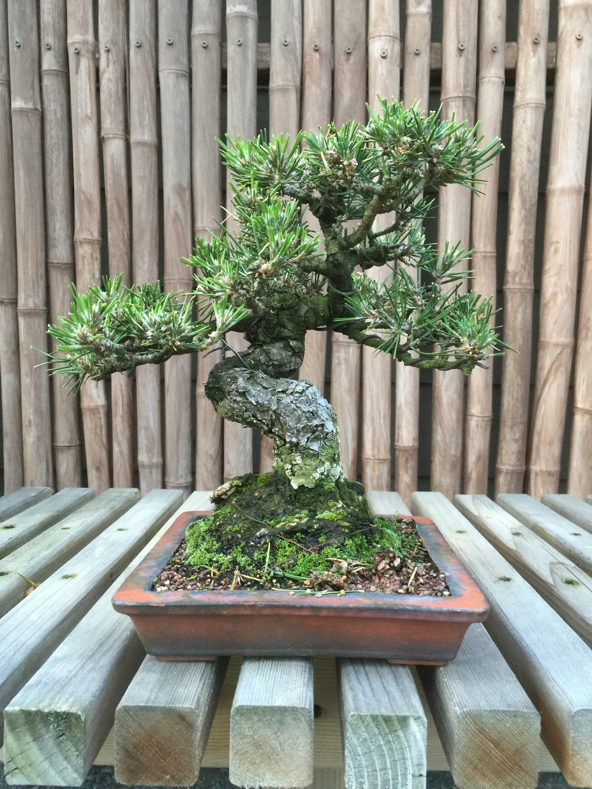 Japanese Black Pine With A Twist TGT Bonsai