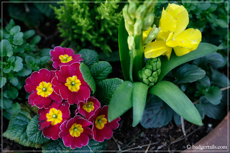 Pink Primrose flowers and yellow Pansy