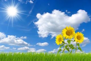 matahari bunga matahari