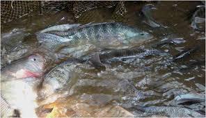 Trik Sukses Budidaya Ikan Mujair