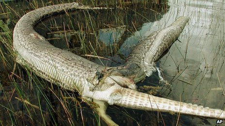 The Paranormalistics Largest Python Ever Caught In Florida