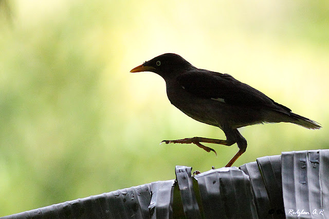 Javan Myna at Banana leaf