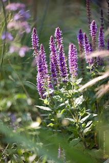 Blumen für den Bauerngarten - Salvia caradonna - Salbei