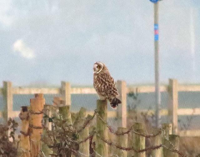 Short-eared Owl - River Clwyd