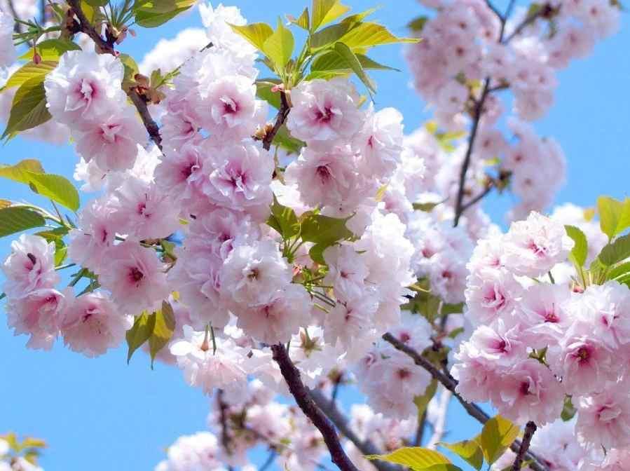 Hasil gambar untuk bunga sakura di jepang