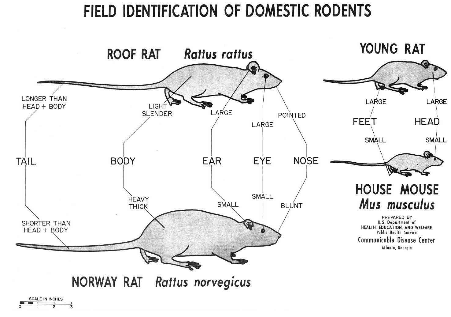 Norway rats and house mice may