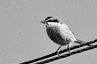 Alcaudón meridional (Lanius meridionalis) Southern grey Shrike