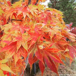Hojas coloreadas de otoño