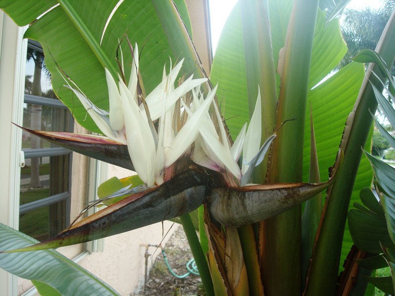 Bird of paradise flower white bird of paradise flower the white bird of paradise strelitzia nicolai goes by the alternate name giant bird of paradise a name befitting its ability to grow up to 30 feet tall mightylinksfo