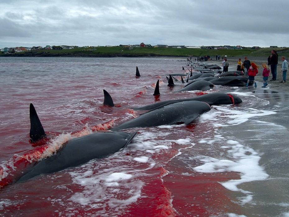 Islas Feroe. Dinamarca. Jan Egil Kristiansen, el autor de la foto, reconoce comer carne de ballena.