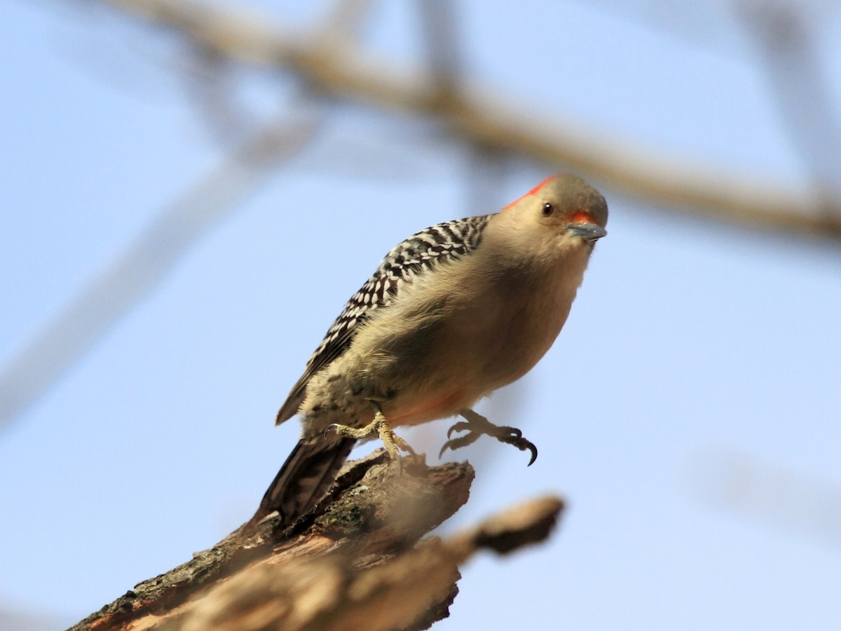 Red-bellied Woodpecker about to jump off branch