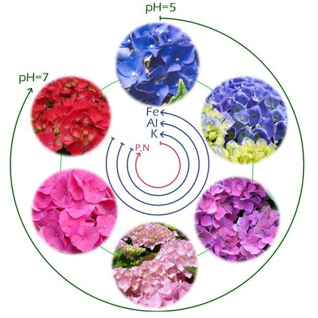 Flortografia Mes De Junio Homenaje A Las Hortensias - Color-de-las-hortensias