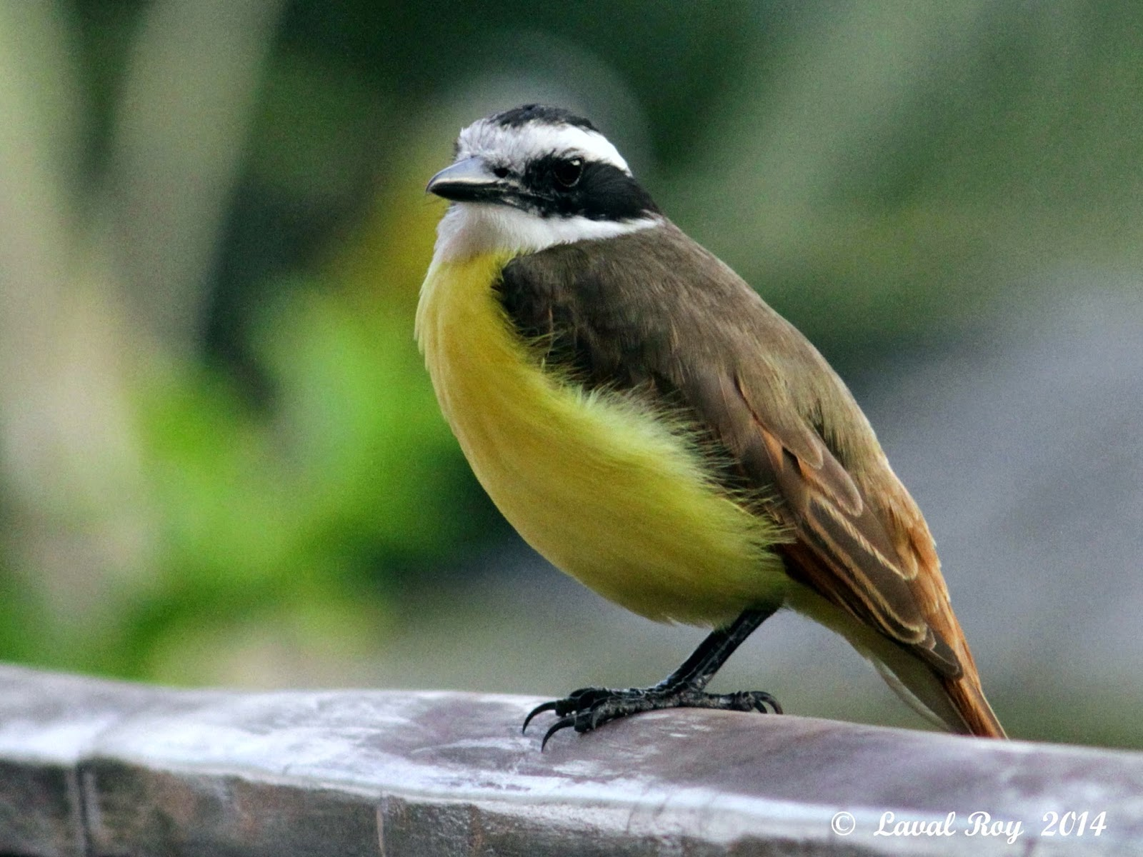 Des oiseaux sur ma route coups de coeur mexicains 3 for Oiseau ventre jaune