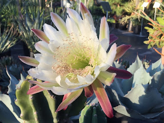 Peruvian Cereus- Vivero Growers Nursery