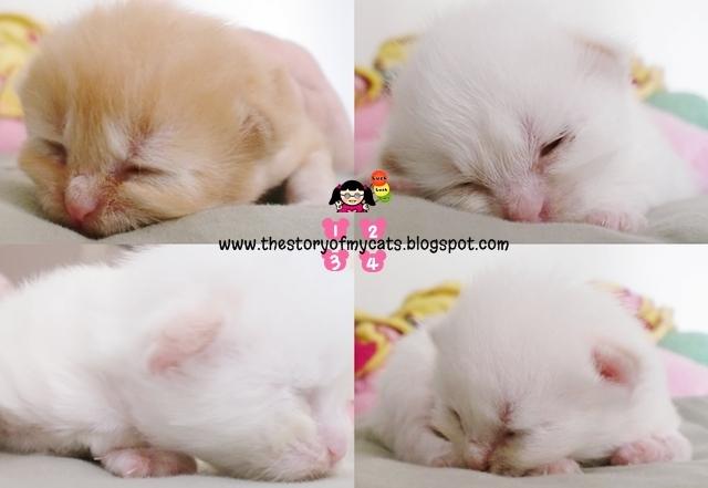 Anak kucing umur 2 minggu