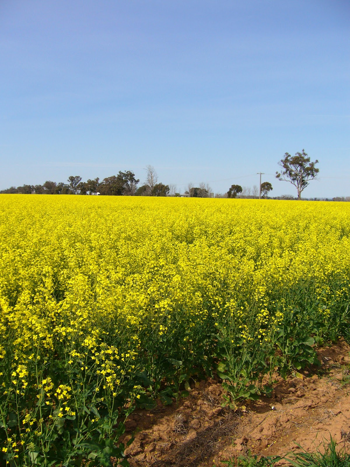 Simple Simon Says Victoria Canola Fields