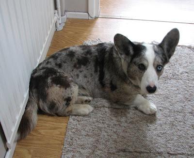 Rommi-koira