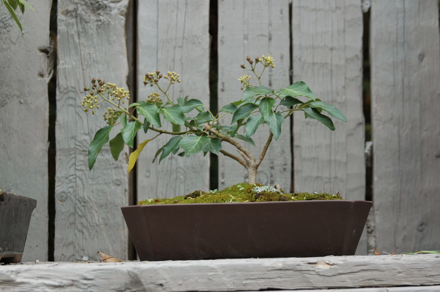 Roche Fleurie Garden Bonsai