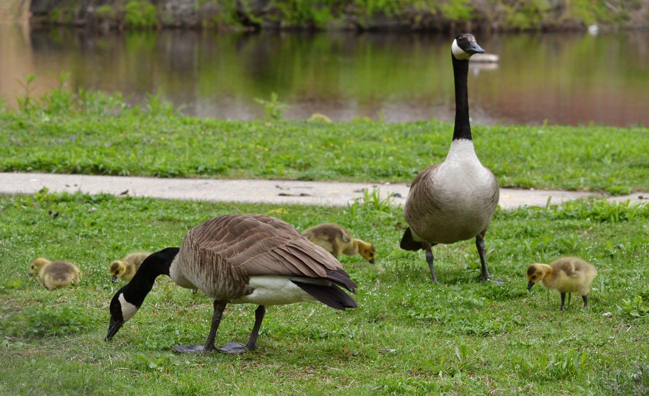 canada goose baby