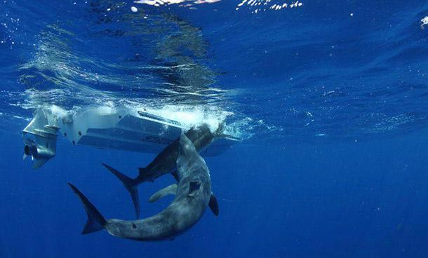 Shark Eating Dolphin Related Keywords - Shark Eating ...